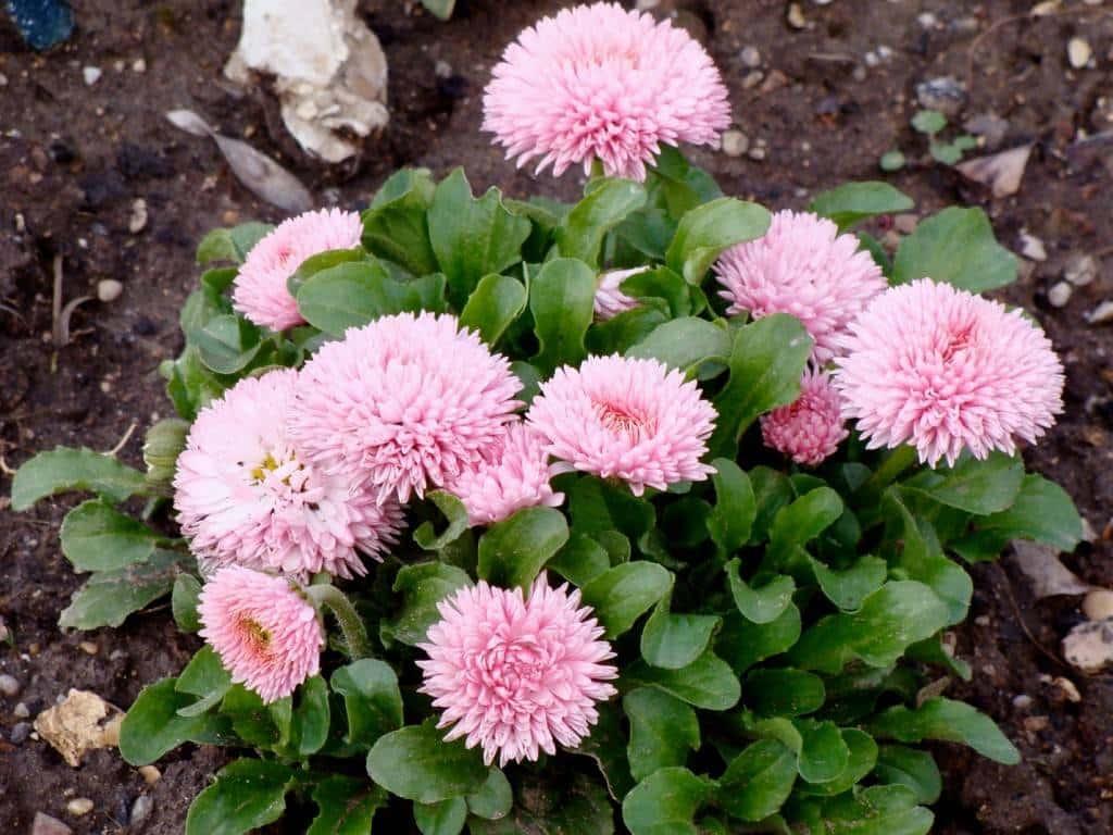 صور زهور الاقحوان