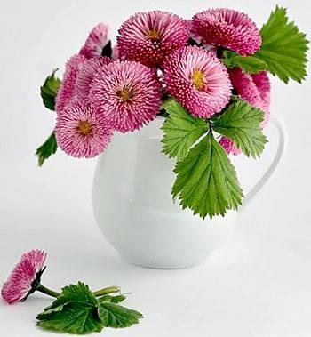 صور زهور الأقحوان