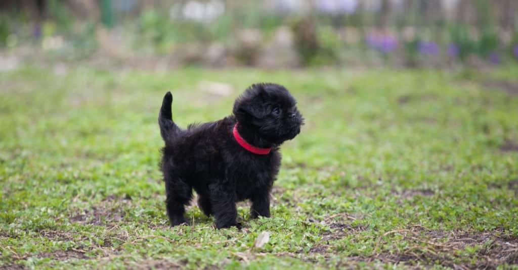 Affenpinscher köpek yavrusu ayakta çimenlerde