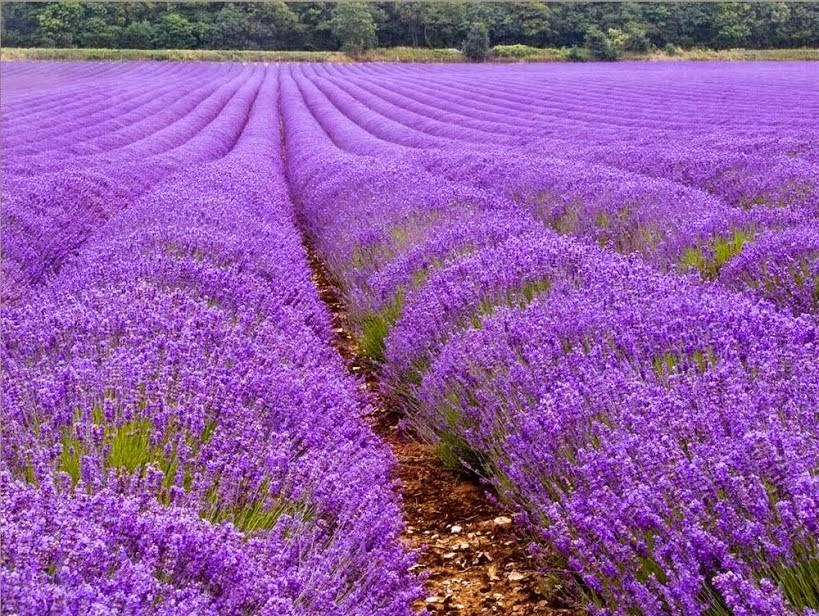 صور زهور اللافندر يترك خصائص مفيدة