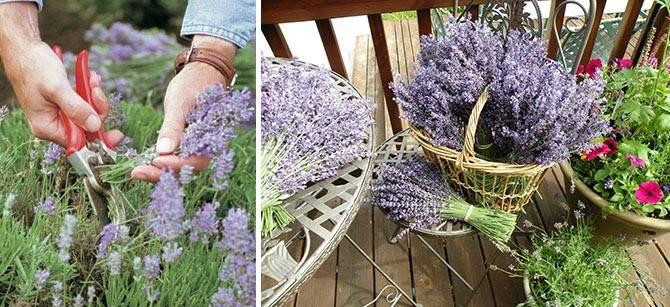 زهور اللافندر يترك الصورة خصائص مفيدة