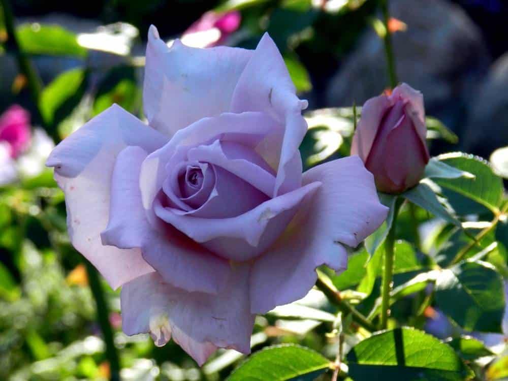 وردة شاي بلو مون