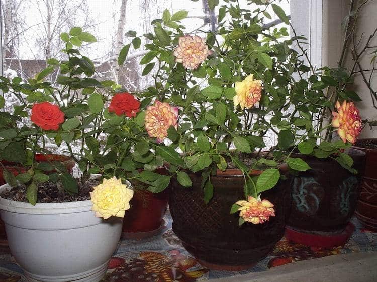 وردة الشاي - الرعاية المنزلية