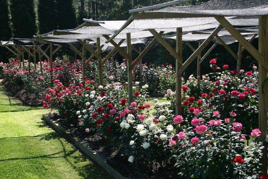 صور الورود الشاي الهجين