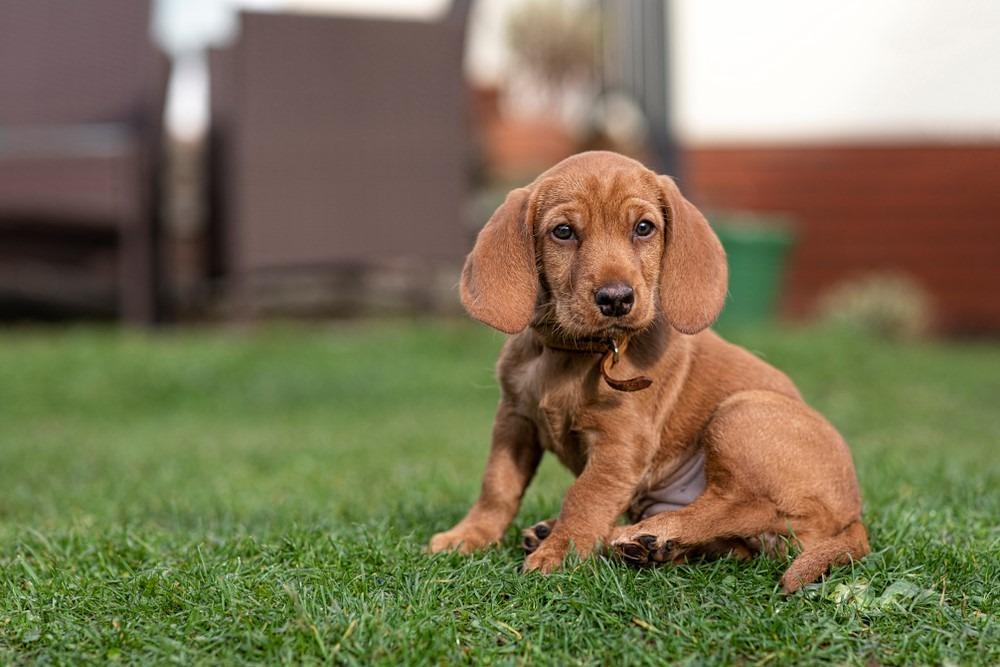 Basset Fauve de Bretagne yavru köpek çimlere oturdu