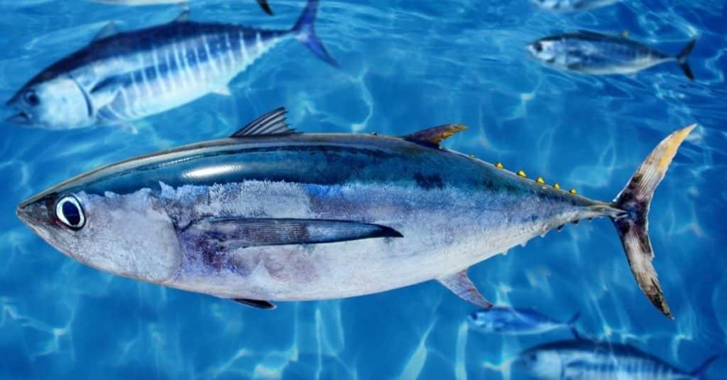 Albacore Thunnus alalunga balığı mavi yüzgeçli orkinos okulu arasında