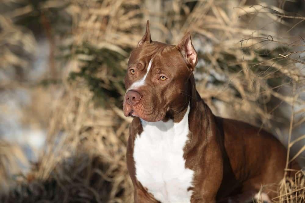 Doğada güzel köpek Amerikan Pit Bull Terrier