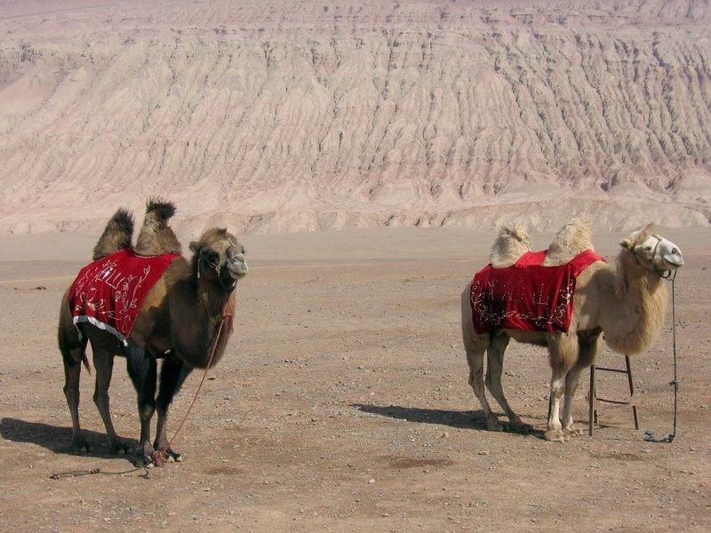 iki hörgüçlü deve - Camelus ferus - çölde eyerli evcil bakteri develeri