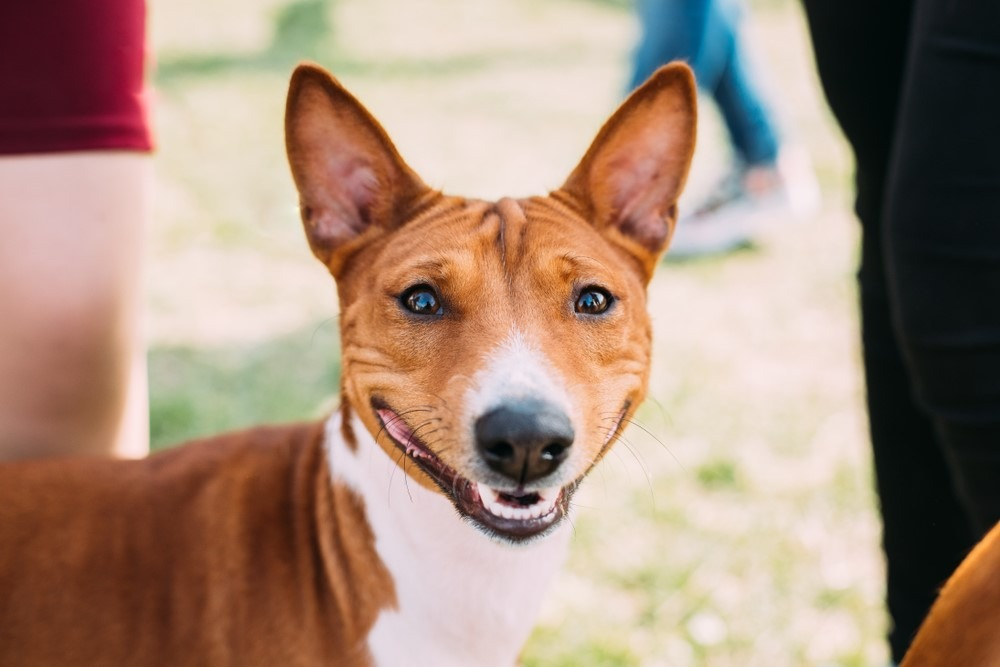 Kameraya gülümseyen basenji köpek