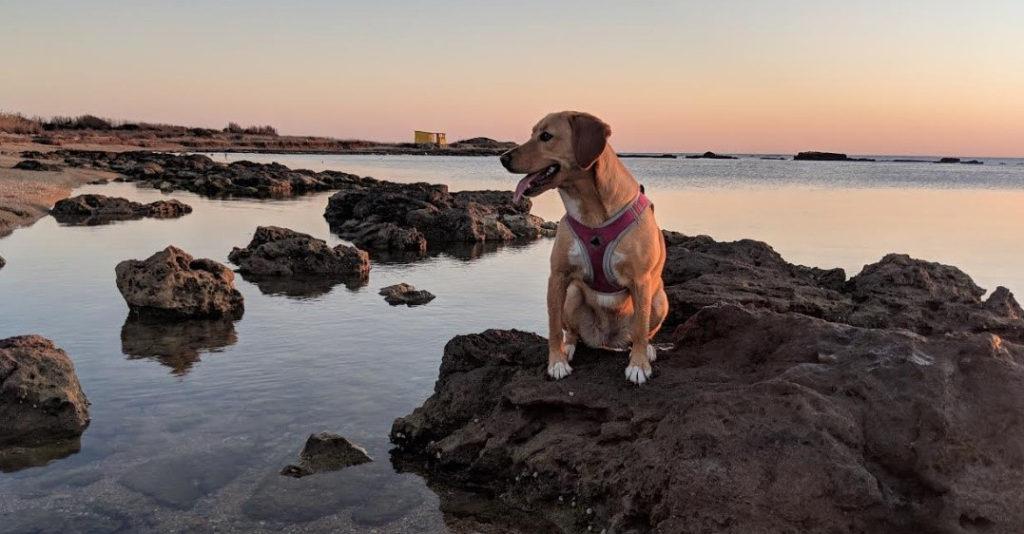 Beagador bir kayanın üzerinde oturuyor