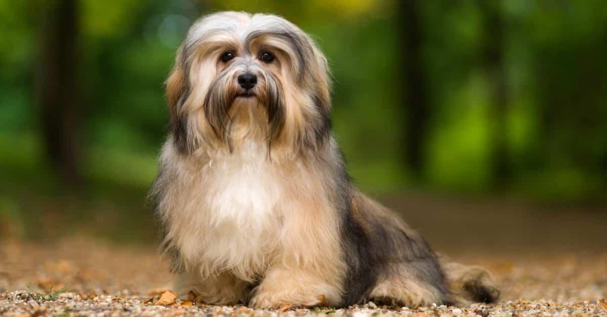 كلب الهافانيز