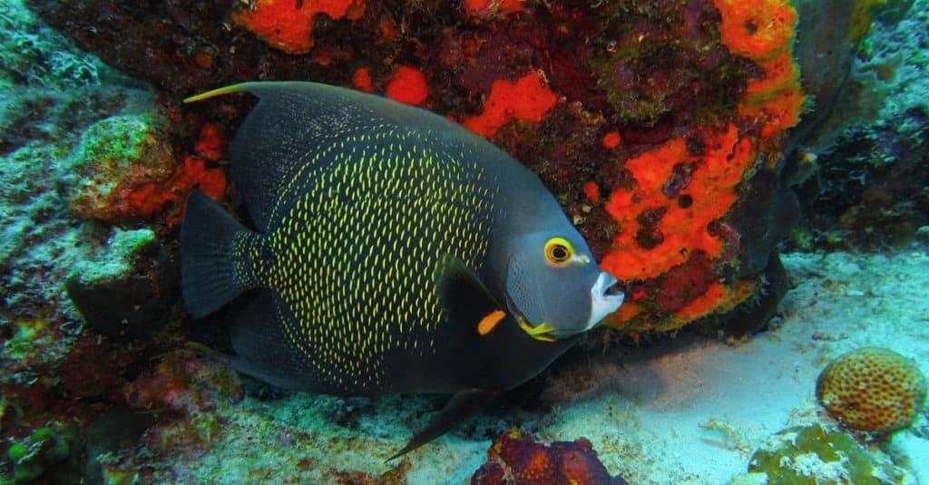 Fransız melek balığı (Pomacanthus paru) ve kırmızı mercan resifinde yüzmek.