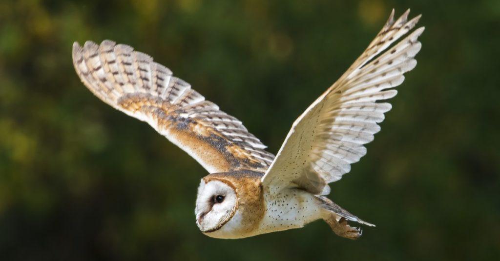 Peçeli baykuş uçuşta