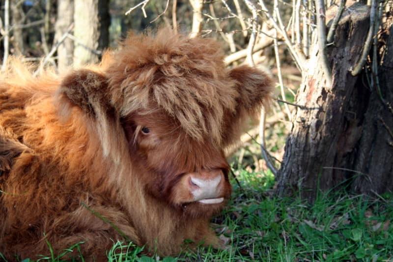 ماشية هاي لاند