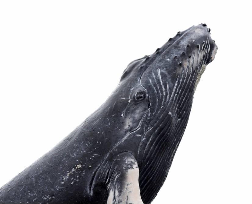 الحوت الاحدب