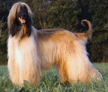 كلب أفغاني يقف في الفناء