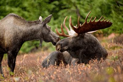 Moose 1.png
