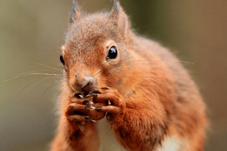 Red squirrel 3.png