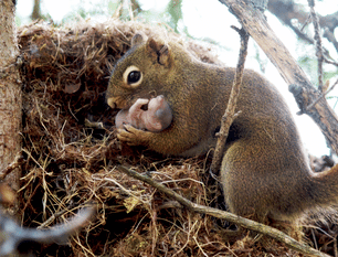 Red squirrel 1.png