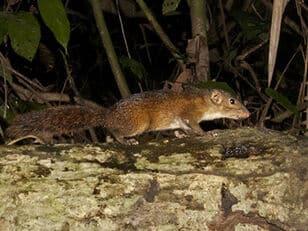 Shrew-faced-ground-squirrel 6219.jpg