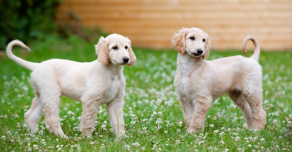 كلاب كلب الصيد الأفغاني يقف في العشب