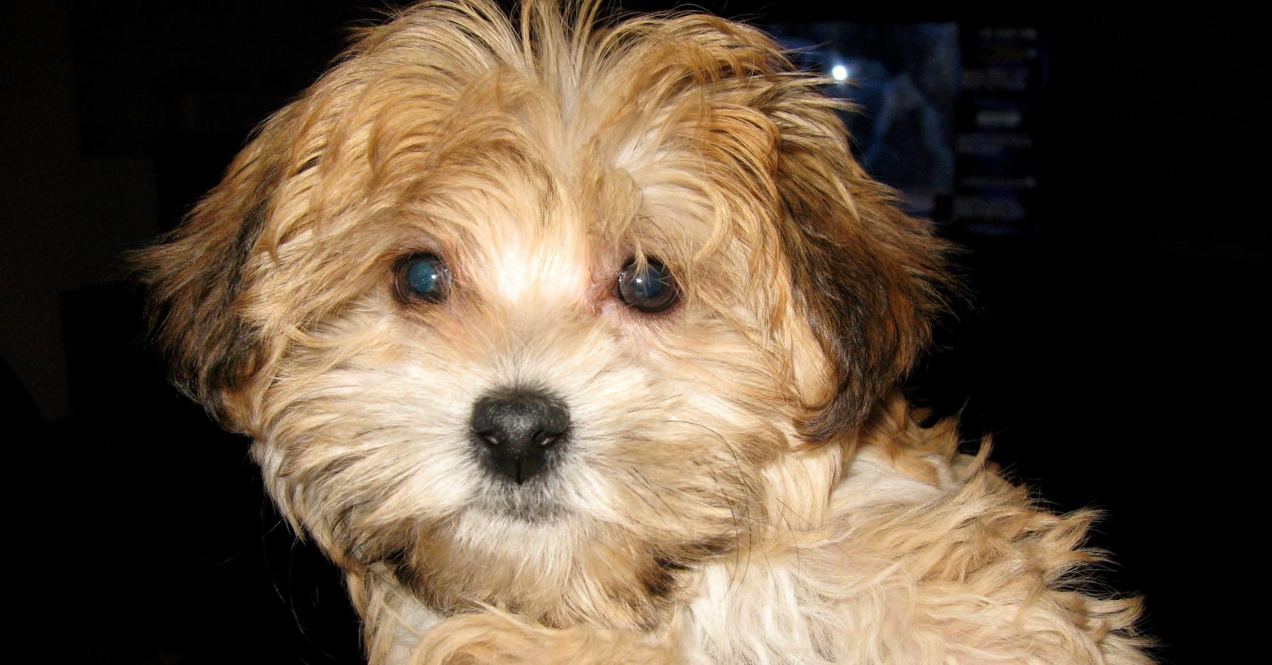 كلب هافاشير