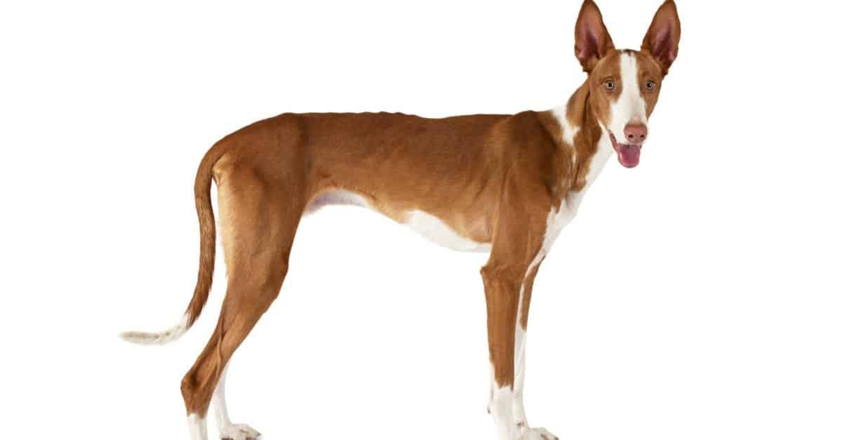 كلب الصيد ايبيزان