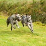 كلب صيد الذئب الإيرلندي