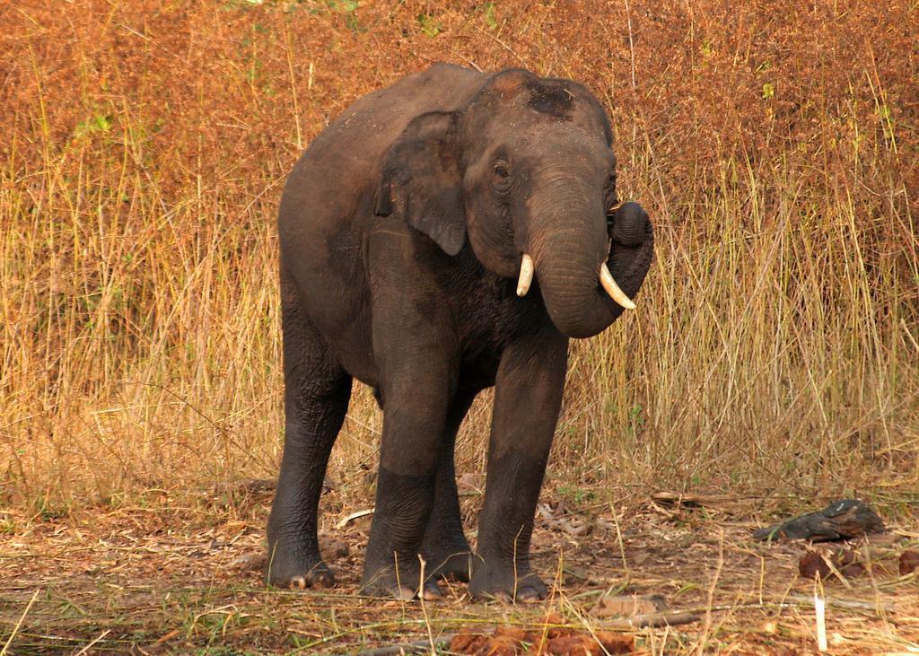 الفيل الهندي