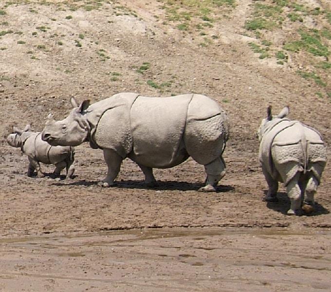 وحيد القرن الهندي