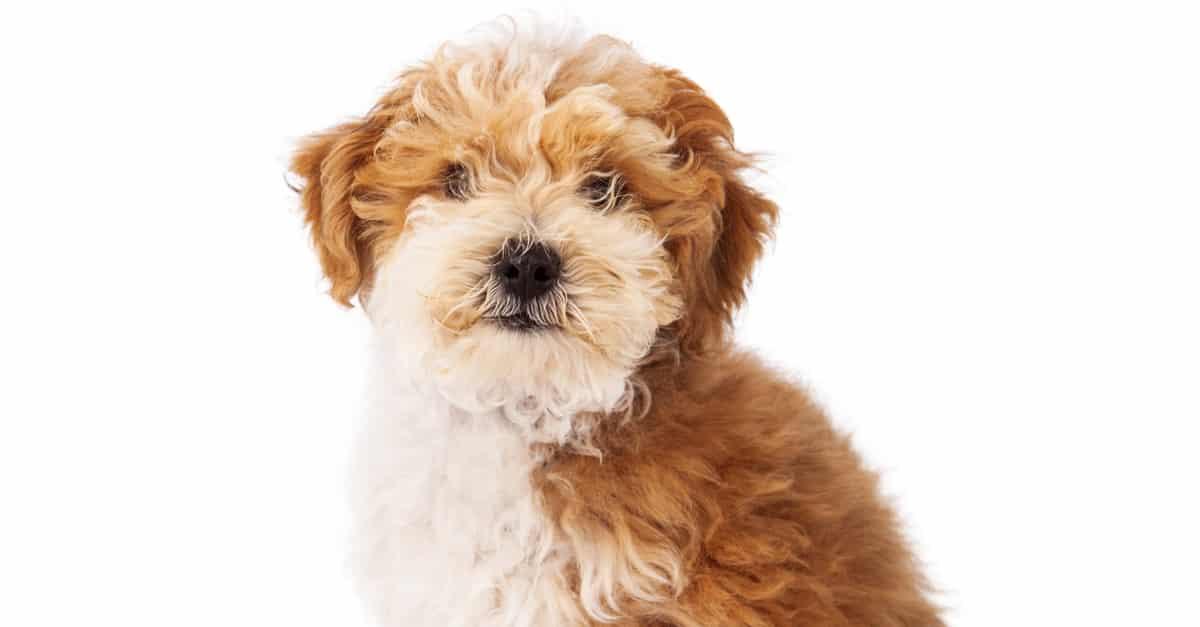 كلب هافابو