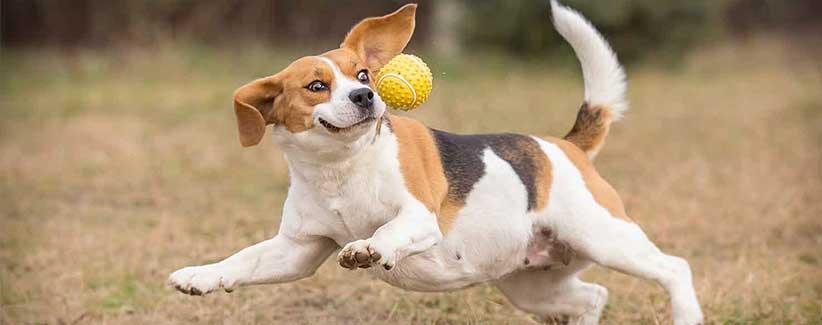 تعمل الكلاب المستردّة للقبض على كرة التنس