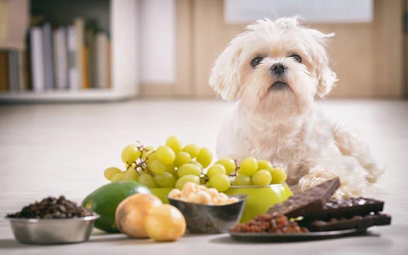 تغذية الكلاب المالطية