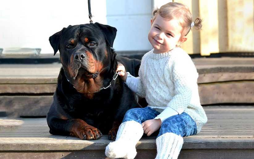 روتويللر مع فتاة صغيرة