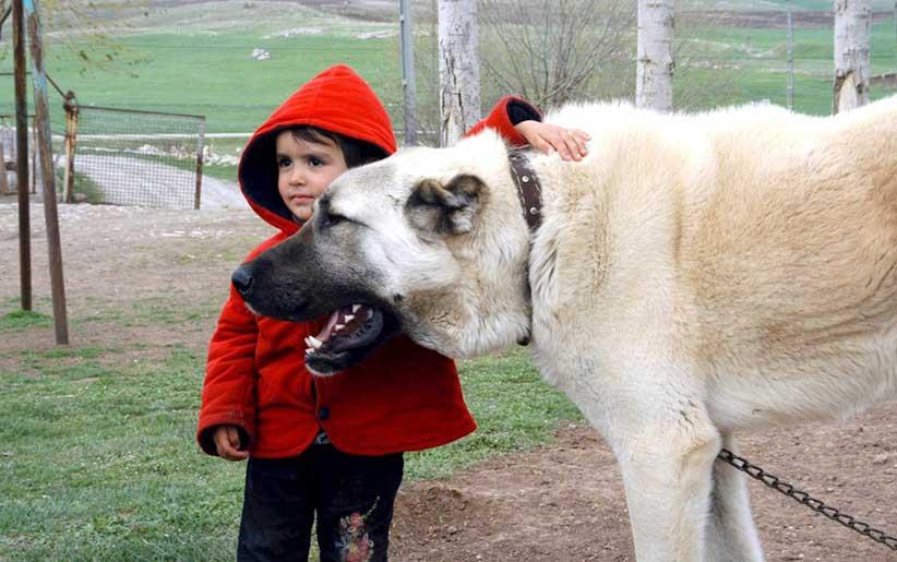 كانجال كلاب بجانب الطفل