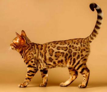 10 قطط في العالم تعرفوا عليها7