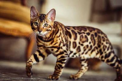 10 قطط في العالم تعرفوا عليها8