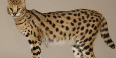 10 قطط في العالم تعرفوا عليها9