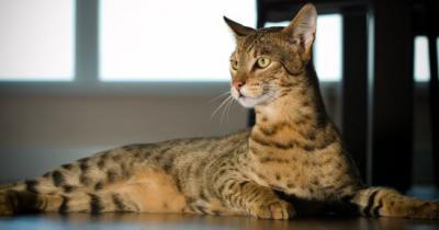 10 قطط في العالم تعرفوا عليها10