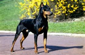 التعامل مع كلاب الدوبرمان1