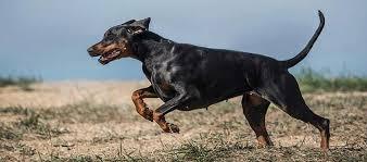 التعامل مع كلاب الدوبرمان2