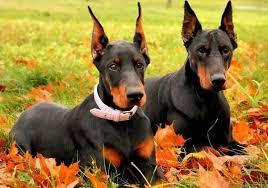 التعامل مع كلاب الدوبرمان4