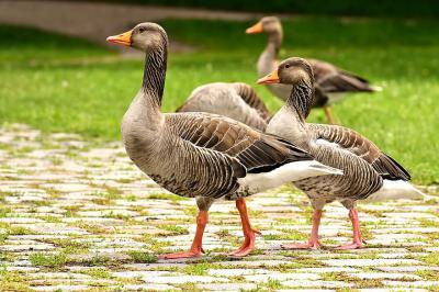 geese wild geese waterfowl group goose char run bird nature poultry