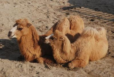 bactrian camel1 600x400