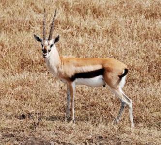 antelope2 470x400