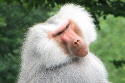 baboon 600x400