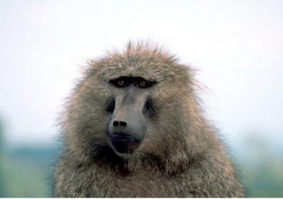 baboon3 600x400